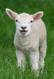 lamb shopping
