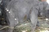 elephant tied to stick